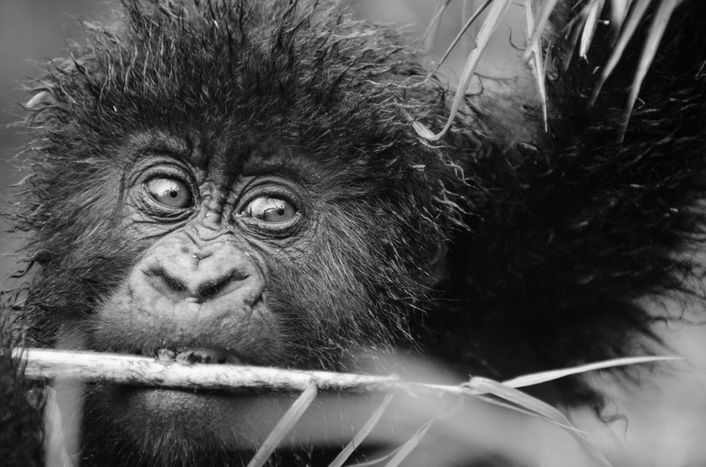 Gorilla, Nature, Primate, Silverback, Rwanda,